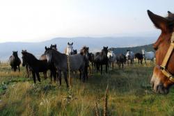 troupeaux des Balkans