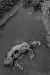 cochon dans la riviere...